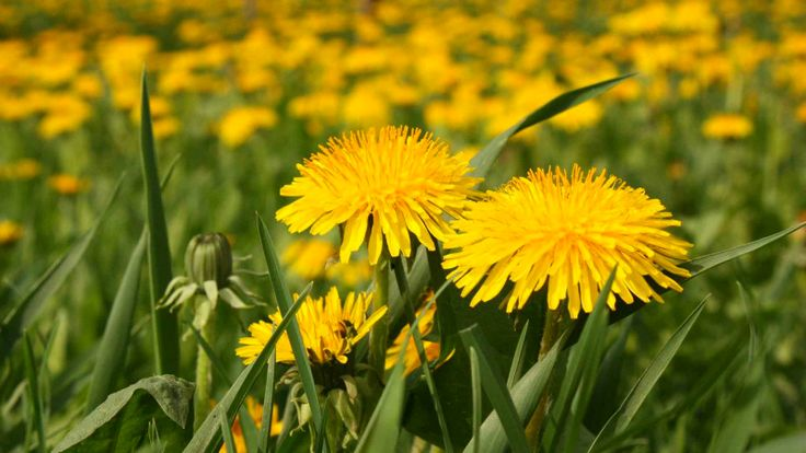 Z tejto rastlinky je možné pripraviť vynikajúce šaláty, džemy aj liečivé odvary. Dokáže však omnoho viac!