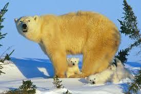 Medvěd lední žije v severních oblastech. Dožívají se 20-25 let. Samci váží 400–700 kg, samice 300–400 kg.