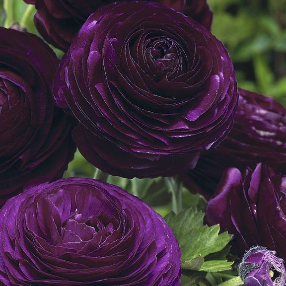 "Ranunculus Purple - These ""spring roses"" have shapely buds that open into gorgeous flowers with layers of tissue-thin petals. Where winters are mild (zones 8-11), plant ranunculus bulbs in fall for early spring flowers."