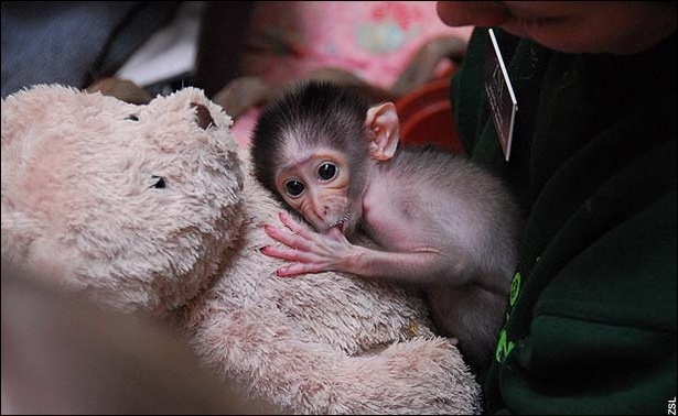 literally can't get over how adorable baby chimps are!