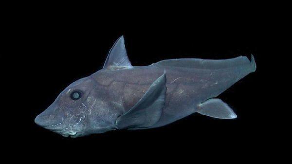 Fotografían por primera vez al extraño tiburón fantasma