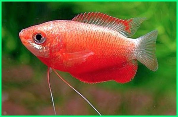 Harga Gurame Hias Gurame Mini Hias Ikan Hias Gurame Padang Ikan Hias Gurami Coklat Harga Ikan Gurame Hias Ikan Hias Gurami Madu Ikan Binatang Ikan Hewan