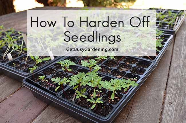 Spring is here and soon we can start planting our seedlings into the garden. But you can't just plant them directly from the house into the garden or they won't survive. You have to harden them off first. Here's How To Harden Off Seedlings. #seedlings #getbusygardening