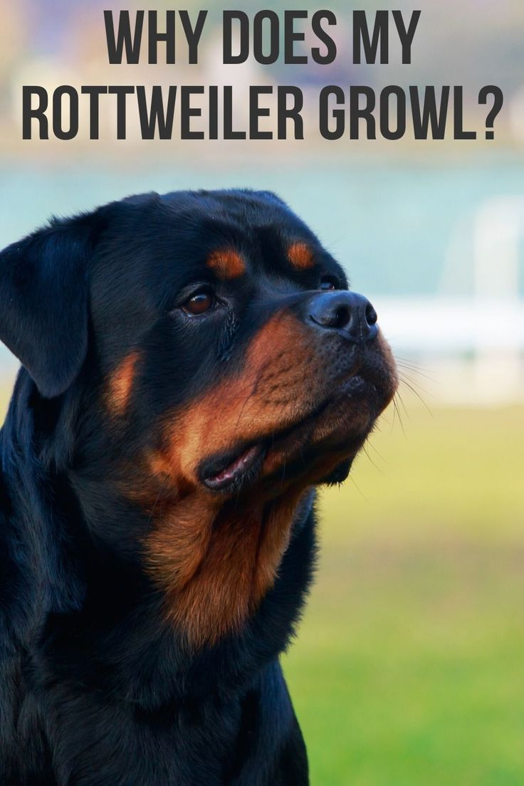 Why Does My Rottweiler Growl Dog Psychology Rottweiler