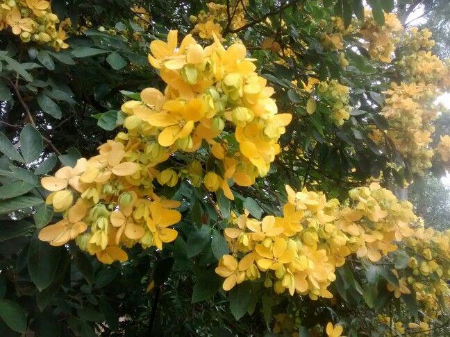 Flor da Manduirana