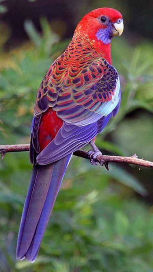 Red, and Blue Parrot