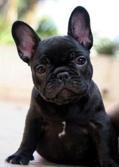 French Bulldog Puppy❤️