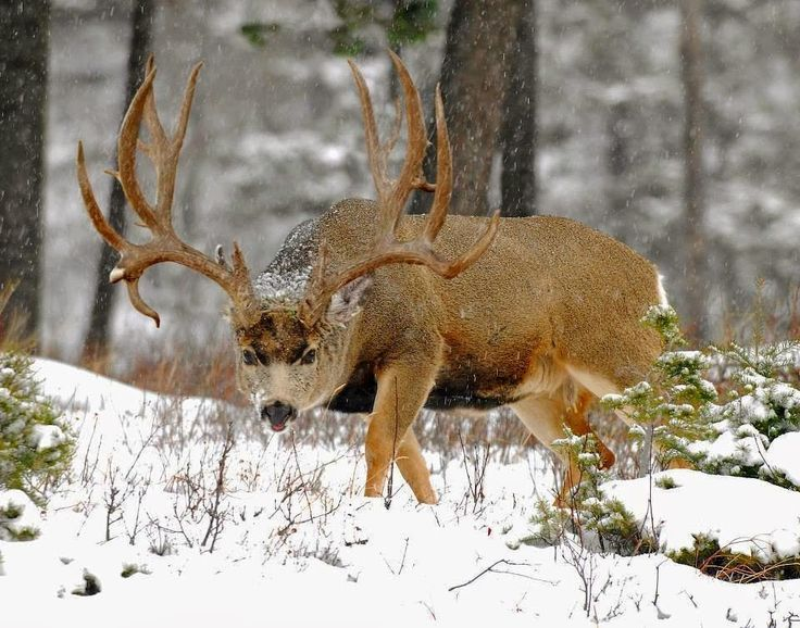 Hunting Monster Mule Deer: The Top 1 Precentors