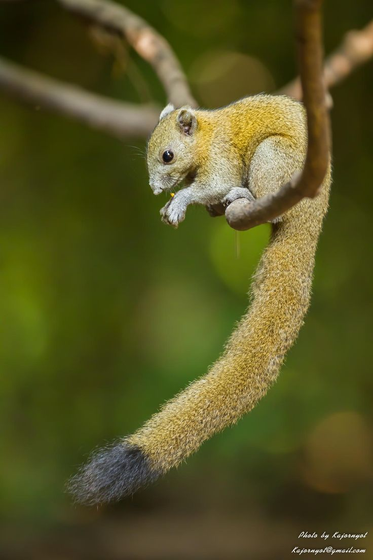 Gray-Bellied Squirrel