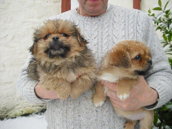 Pekingese Yorkshire Terrier Cross Pekingese Yorkshire Terrier Terrier