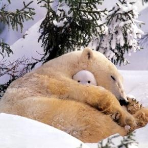 Winter tenderness by cowboy: Bears Hugs, Naps Time, Baby Polar Bears, Peekaboo, Big Hugs, Baby Bears, Peek A Boo, Sweet Dreams, Polar Bears Cubs