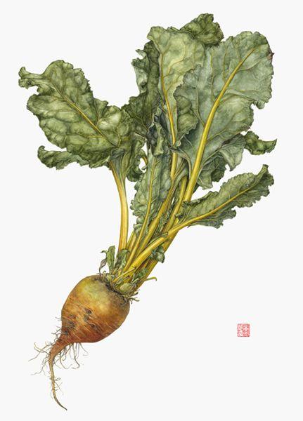 <strong>Golden Beet</strong> -<small><em> Beta vulgaris </em> 11 1/2 x 17 1/2 </small> watercolor on paper