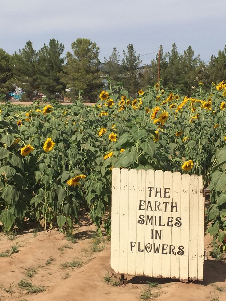 Beautiful sunflowers at Schnepf Farms | Beauty | Pinterest
