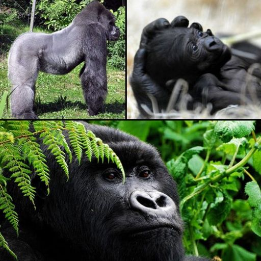 Cross River Gorilla Gorilla gorilla diehli one of the top 10 endangered species down to less than 300 & at risk due to deforestation for agriculture.