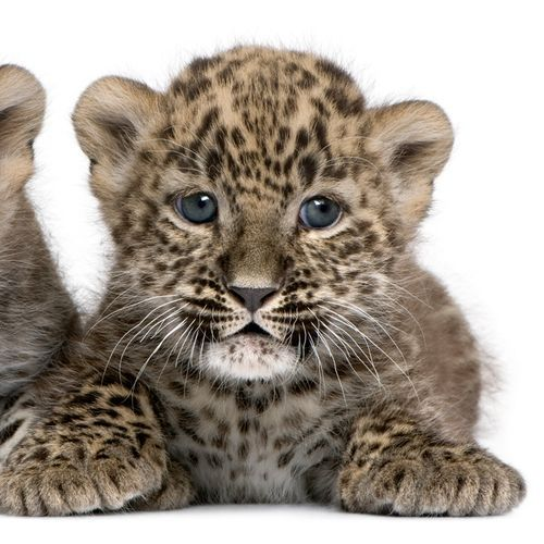 Darius, a Persian Leopard from Zoo Madrid in Spain
