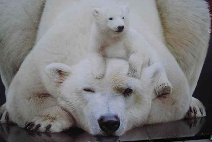 Polar bear baby cub