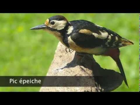 Pic épeiche - YouTube