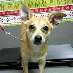 Moreno Valley, California - Chihuahua. Meet A480713, a for adoption. https://www.adoptapet.com/pet/20308093-moreno-valley-california-chihuahua
