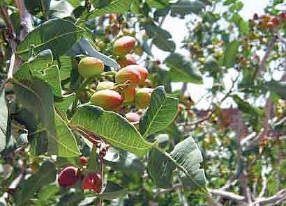 Pistachio Tree | Pistachio Trees