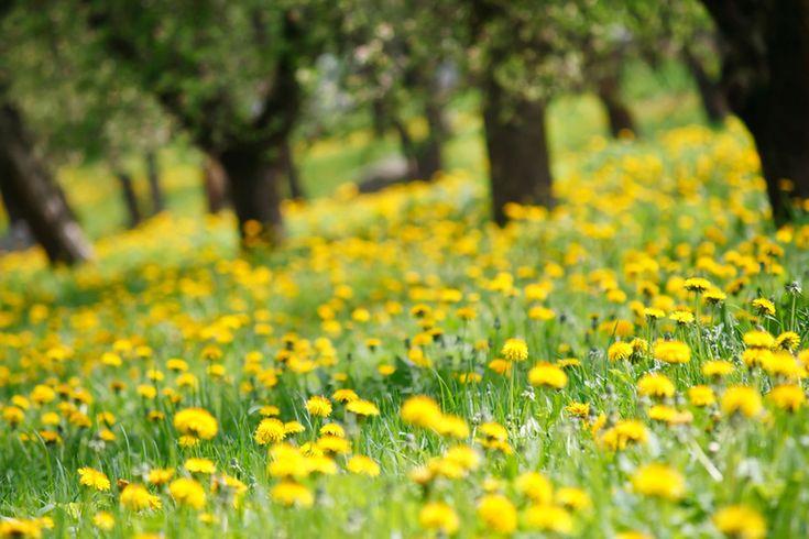 """Frühlingssprüche auf: www.gartenzauber.de """"Natur .... Butterblumengelbe Wiesen, sauerampferrot getönt ..."""" von Christian Morgenstern."""