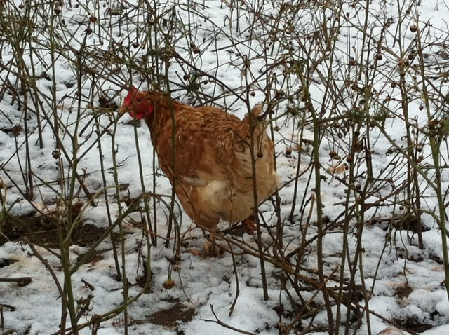 One of our hens enjoying the winter snow  this morning