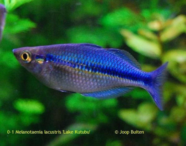 163 best images about rainbow fish on pinterest for Freshwater rainbow fish