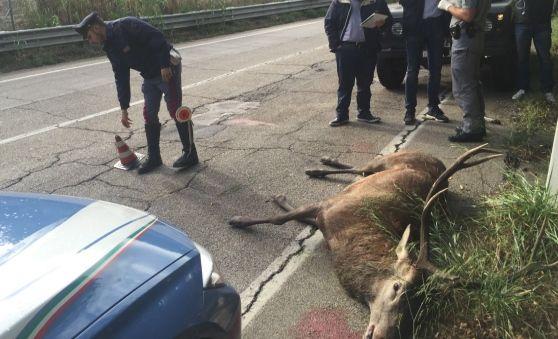 Chieti.Investito ed ucciso un esemplare di Cervo. Indaga il Corpo Forestale…