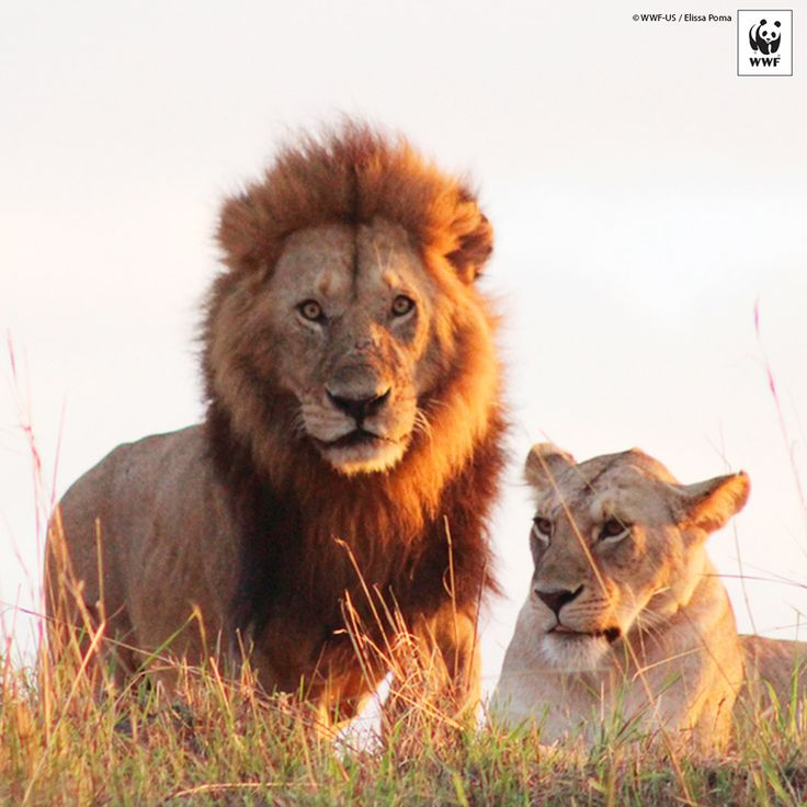 "WWF #PicoftheWeek: Two lions in the Maasai Mara National Reserve in Kenya  Inspiring, isn't it? It reminds us of an old proverb… ""We do not inherit the land from our ancestors, we borrow it from our children."""