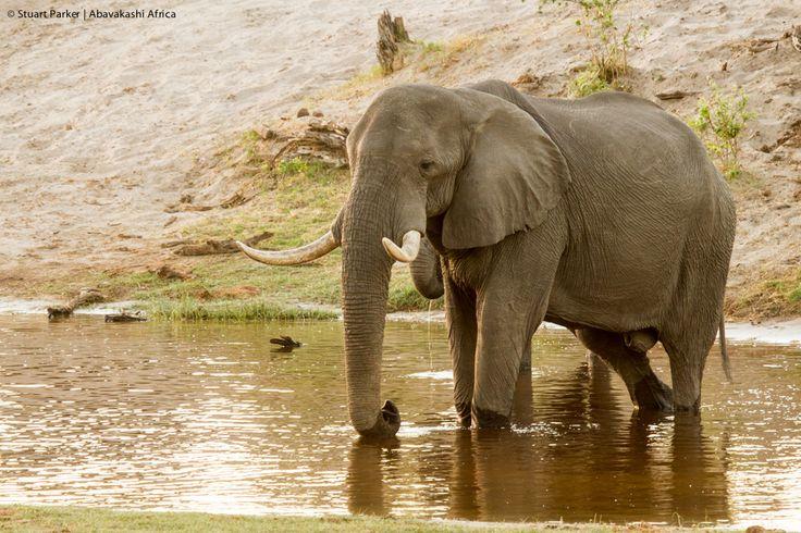 Elephant on the Savute Channel in Botswana from Savute Safari Lodge