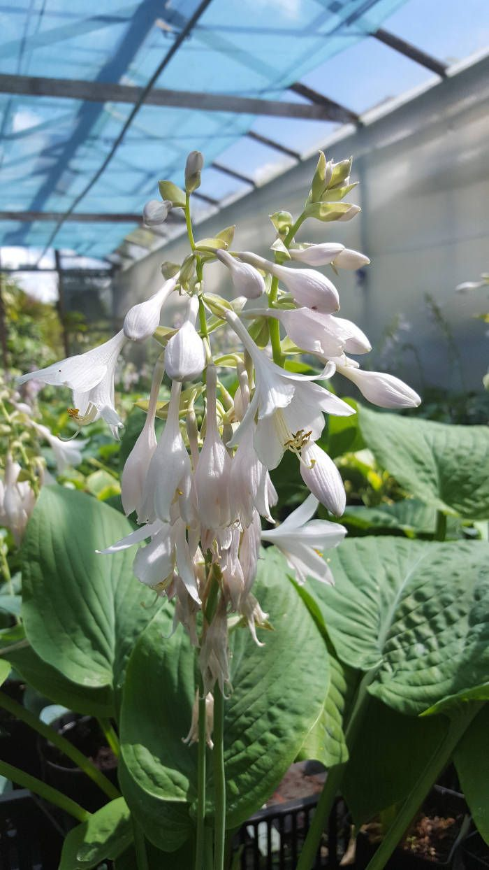 166 best perennials images on pinterest jungle nursery jungles hosta t rex plants for sale mail order or buy at the nursery dhlflorist Image collections