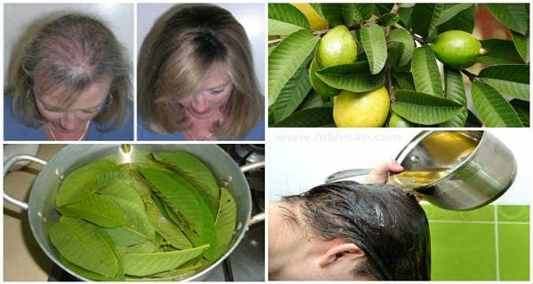 Health Benefits of Guava Leaves: Hair – Guava leaves are a great remedy for hair loss. They contain vitamin B complex (pyridoxine, riboflavin, thiamine, pantothenic acid, folate and niacin) which stop