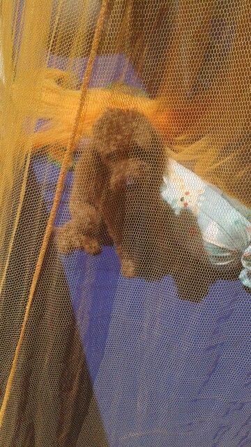 Balu dopo il bagnetto  sotto la  zanzariera ad asciugarsi