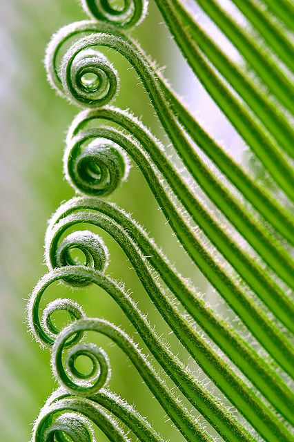 spirals on a Sago palm by Oliver Wu