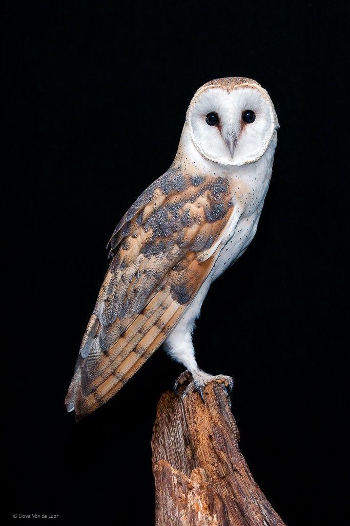 Barn Owl by Dave Van de Laar on 500px