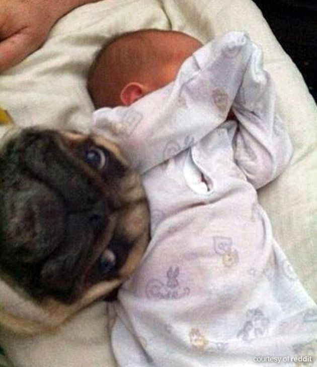 Seeing as our last pug photobomb picture was so popular, here's another one where a fawn pug has photobombed a baby picture and don't they look proud! Description from funnypugpictures.co.uk. I searched for this on bing.com/images