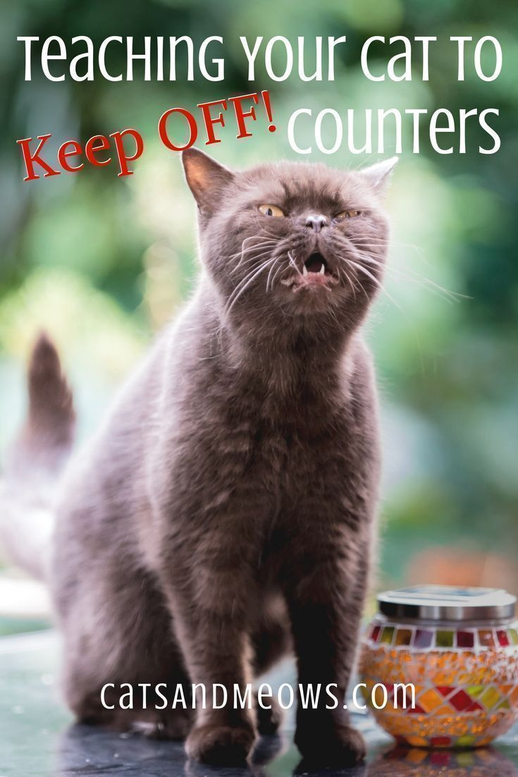 Teaching Your Cat To Keep Off Counters Cats And Meows Cat Training Cat Care Cat Grooming