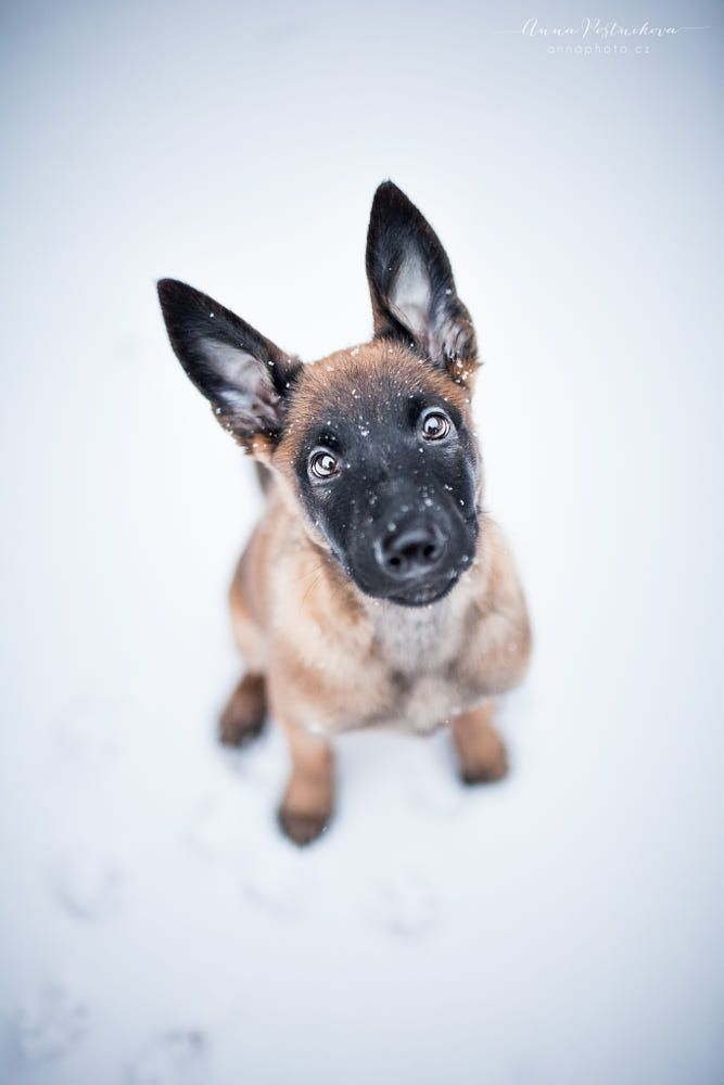Puppy In Snow By Anna Postnikova 500px In 2020 Malinois Welpen