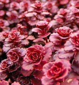 chrome hearts shop online real Productive groundcover  grows thick  chokes out weeds as it spreads  And each requires little care to thrive where few other plants will grow