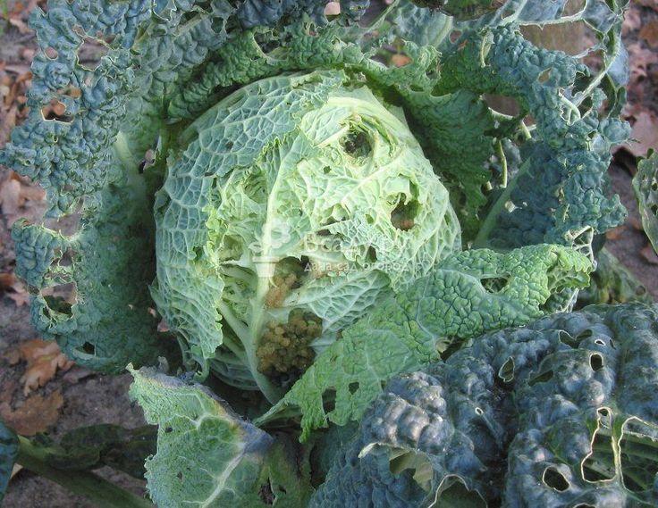 Вредители капусты: фото, описание и лечение ...