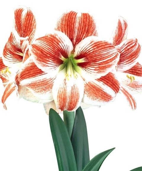 Best images about gardening paperwhites and amaryllis
