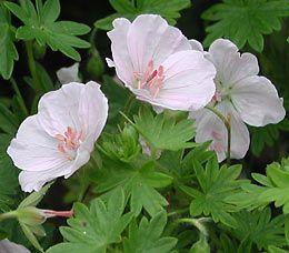 Geranium sanguineum 'Apfelblüte' - Blut-Storchschnabel