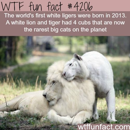 The world's first white ligers -  WTF fun facts
