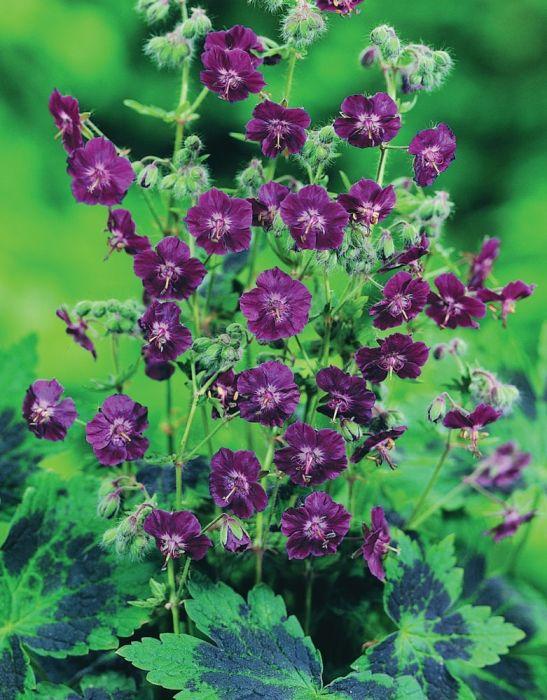 Geranium phaeum Samobor                                                                                                                                                                                 More
