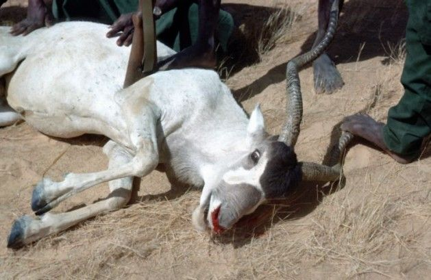 "Dead addax (white antelope) hunted by soldiers in Chad – ""We should not underestimate the seriousness of wildlife crime"". Credit: John Newby/SCF"