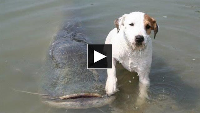 Smart Dog Catching Catfish in a Pool http://video-fishing.com/dog-catching-catfish