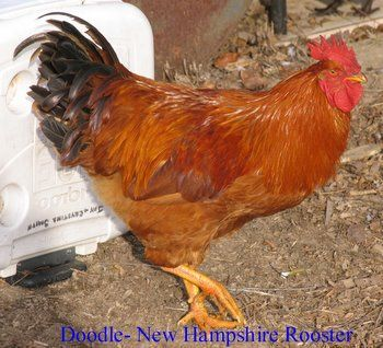 how to make a chicken analysere hatchery