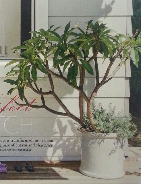 Potted Frangipani On A Deck Courtyard Deck Outdoor