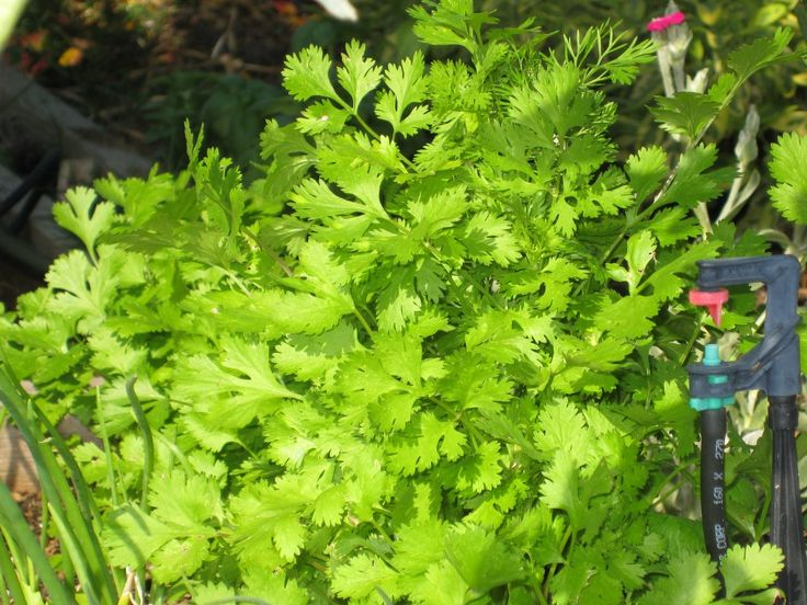 Yummy cilantro all year long from your garden.