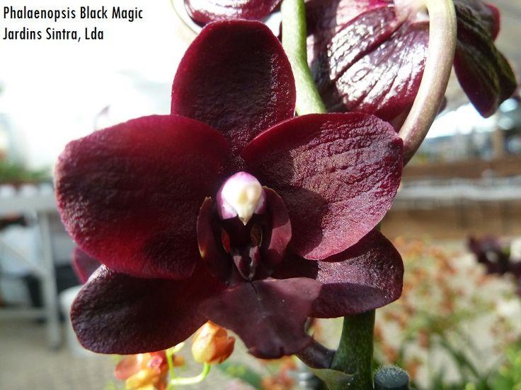 Phalaenopsis Black Magic, dos Jardins Sintra