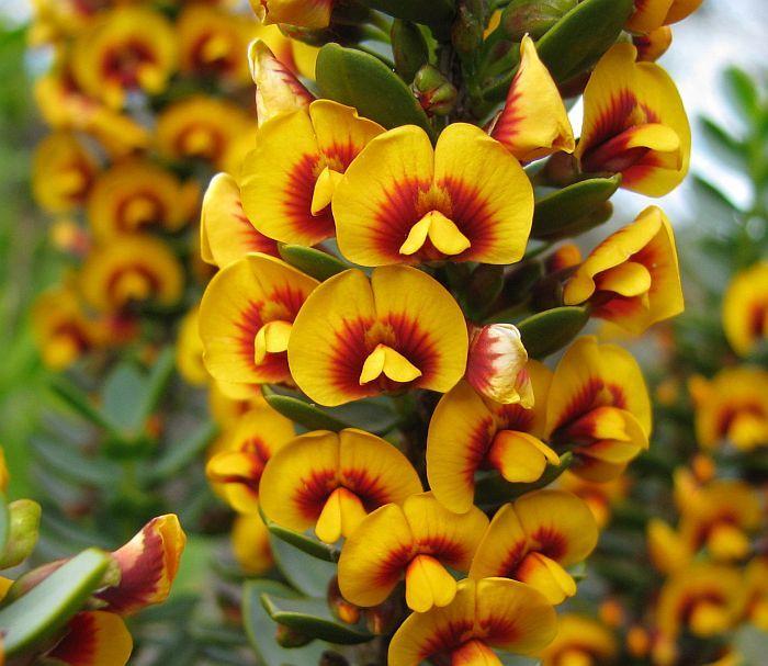 Esperance Wildflowers: Eutaxia myrtifolia